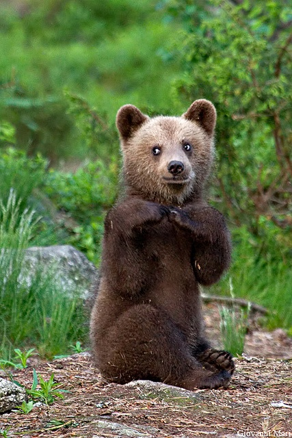 ☀Brown Bear Cub, Suomussalmi - Finland by Giovanni Mari
