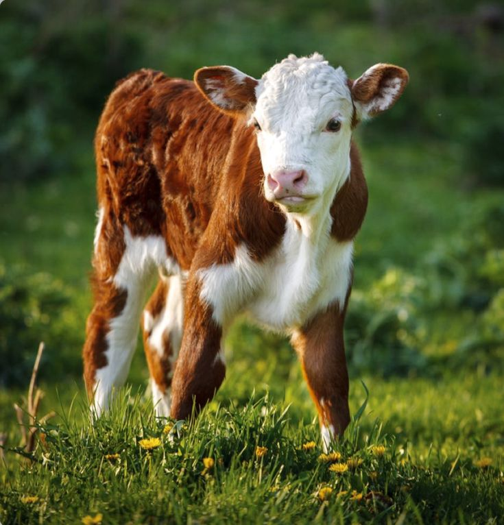 Beautiful red and white hereford calf in the meadow