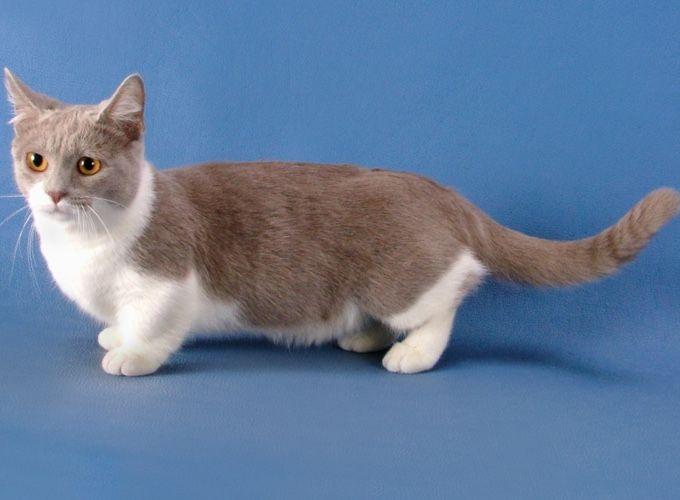 Berühmt Die besten 25+ Munchkin kittens for sale Ideen auf Pinterest  DZ39