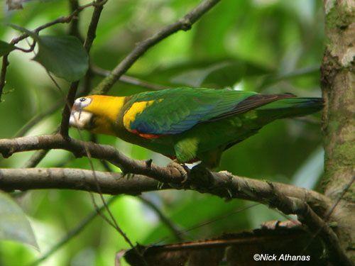 Male Saffron-headed parrot (Pionopsitta pyrilia).