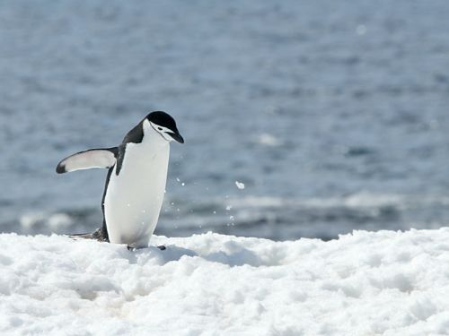 Chinstrap Penguins | Community Post: In Case You Were Worried That You'd Forgotten Every Type of Penguin