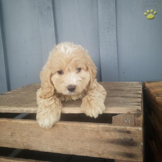 Rita - Cockapoo Puppy for Sale in McClure, PA | Lancaster