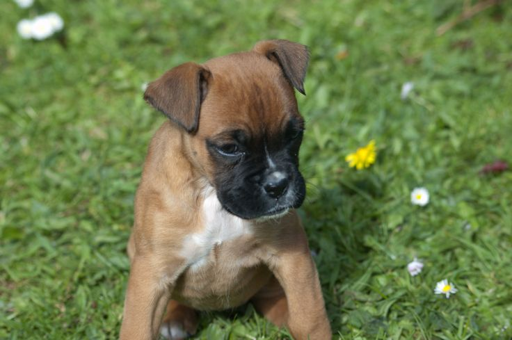 Boxer puppy Layla