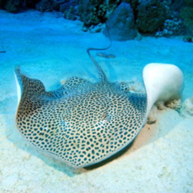 Best 10 types of stingrays ideas on pinterest types of for Types of ray fish