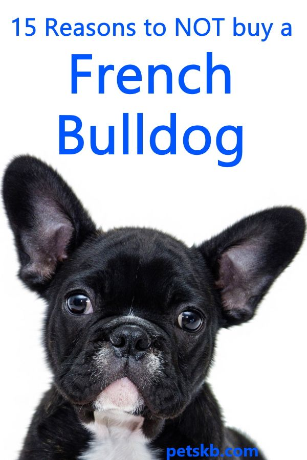 15 Reasons To Not Buy A French Bulldog French Bulldog Bulldog French Bulldog Prices