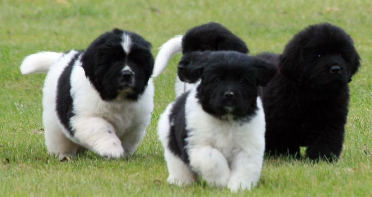 6 week old Newfoundland puppies - I want to roll around in the grass with all of them!