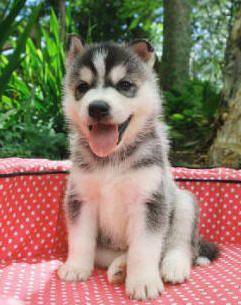 How To Siberian Husky Puppy Training | Siberian Husky Reviews and ...