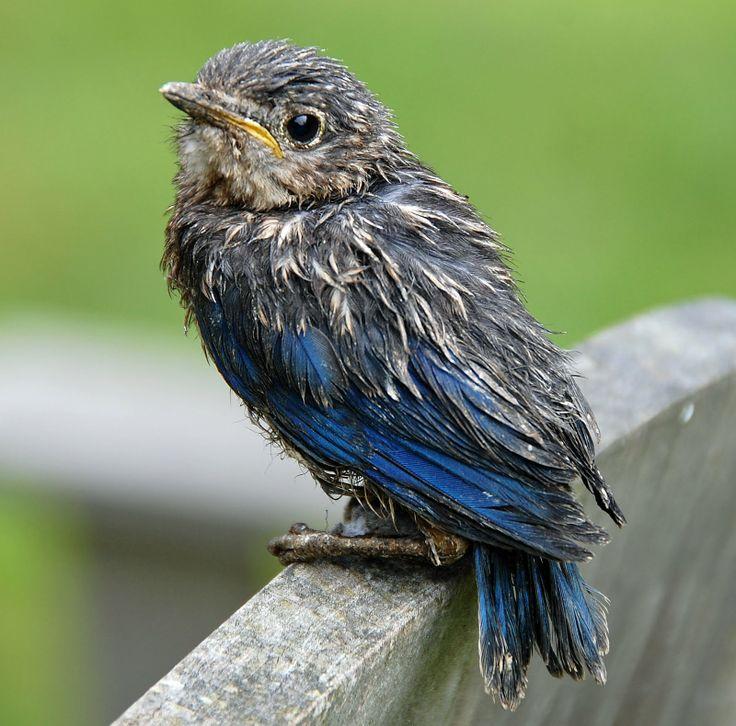 Baby Blue Bird Animals Pinterest Baby Blue Bird