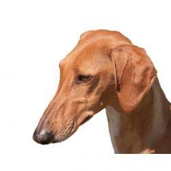 Un cane molto forte l'Azawakh, infatti, il caldo non lo scompone minimamente, abituato com'era al clima desertico, ha molti pregi, ma prima di mostrarsi completamente occorre acquisire la sua totale fiducia, il che richiederà un pò di tempo, lavoro e pazienza.