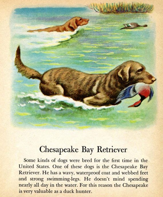 Chesapeake Bay Retriever Hunting Dog Illustration by Tibor Gergely  from a Vintage Childrens Book