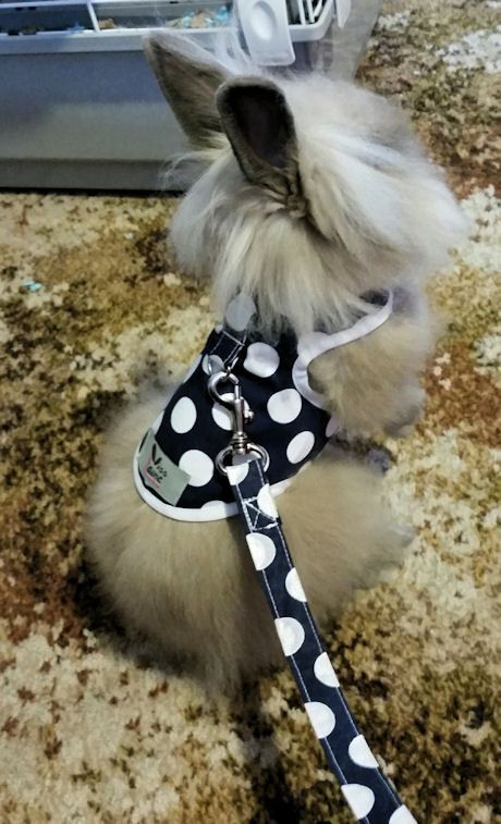 Rabbit harness  with d-ring attachment. made to order. choose