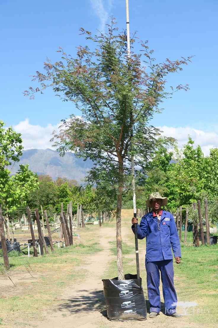 100L Acacia galpinii (Monkey Thorn)