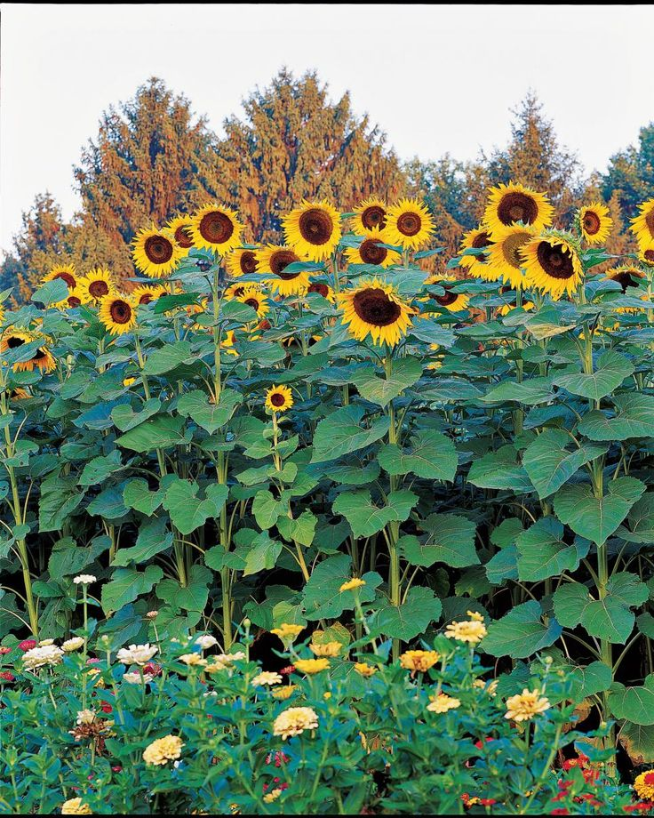 Big and Small Sunflower Varieties   Different Sunflower Sizes