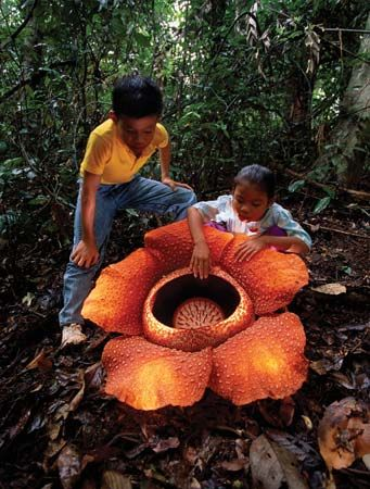 "rafflesia in full bloom - ""Borneo's Rafflesia is found mainly in the rainforests of Sarawak and Sabah.  This parasitic flower grows to a diameter of more than 3 feet across with a weight of up to 22lbs. and is part of a family of about 20 species..."""