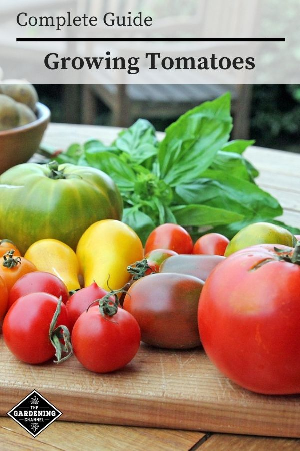 How To Grow Tomatoes The Complete Guide Growing Tomatoes Tomato Plant Diseases Tomato