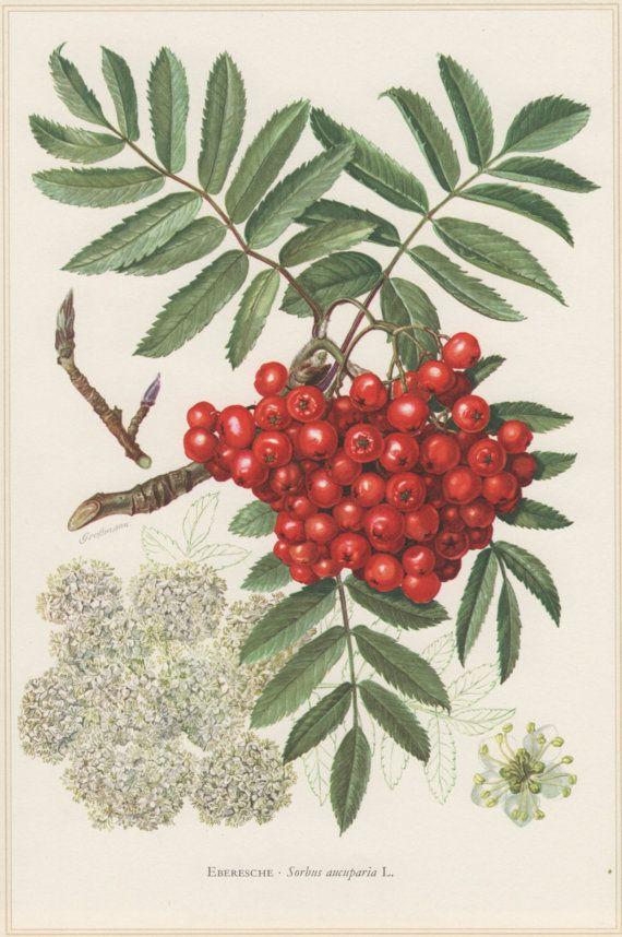1960 Vintage Botanical Print Sorbus aucuparia Rowan by Craftissimo