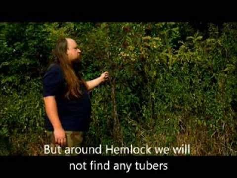 Dzikie rośliny jadalne - cz1. Świerząbek bulwiasty (Wild edible plants -...
