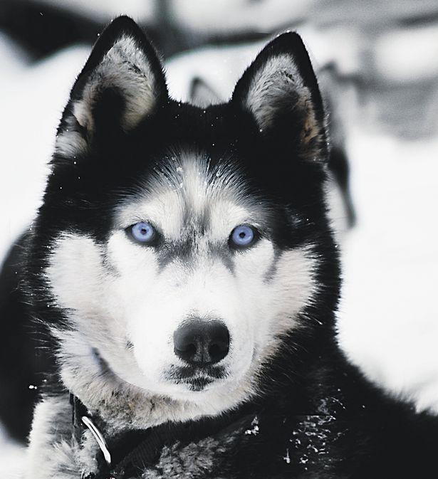 Blue-eyed husky... I want a husky!