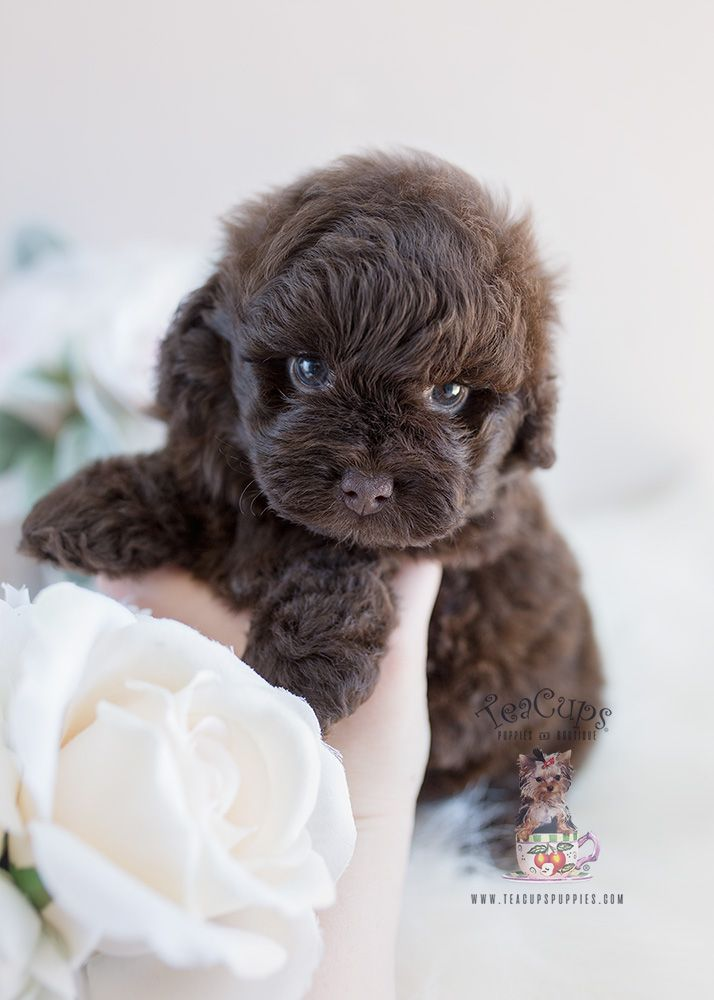 Chocolate Shih Poo Puppy Bu Teacup Puppies And Boutique Shihpoo