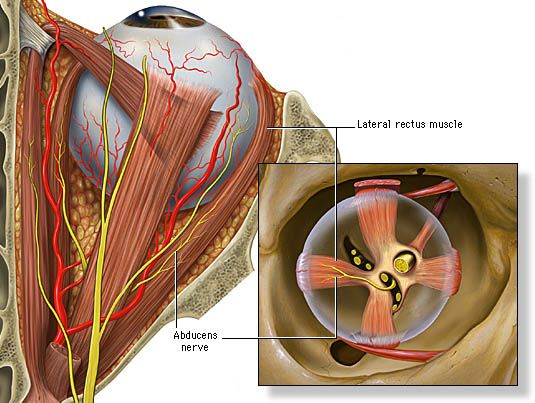 Abducens nerve and the lateral rectus muscle.