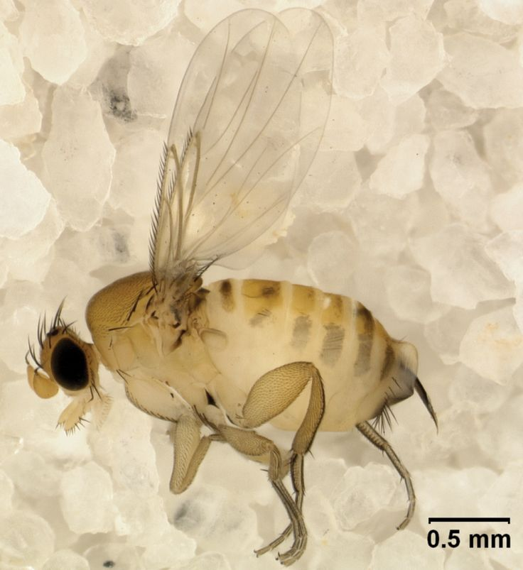 Apocephalus borealis AKA The Zombie Fly.  Go to www.zombeewatch.com for more information