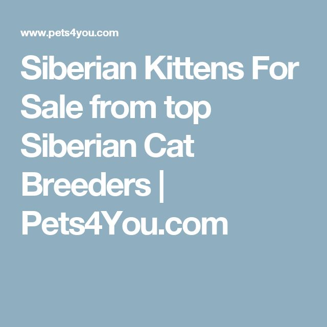 Siberian Kittens For Sale from top Siberian Cat Breeders | Pets4You.com