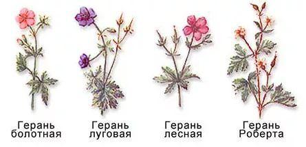 Герань садовая – декоративно-лиственное многолетнее растение с красивыми и нежными цветками. В настоящее время существует свыше 290 разновидностей этого цветка, среди которых встречаются многолетние и однолетние виды. Это растение, которому требуется минимальный уход, пользуется большой популярностью во многих странах. Этот нежный цветок ценится не только за красивое цветение, но и способность формировать компактный, плотный куст с ажурной листвой.