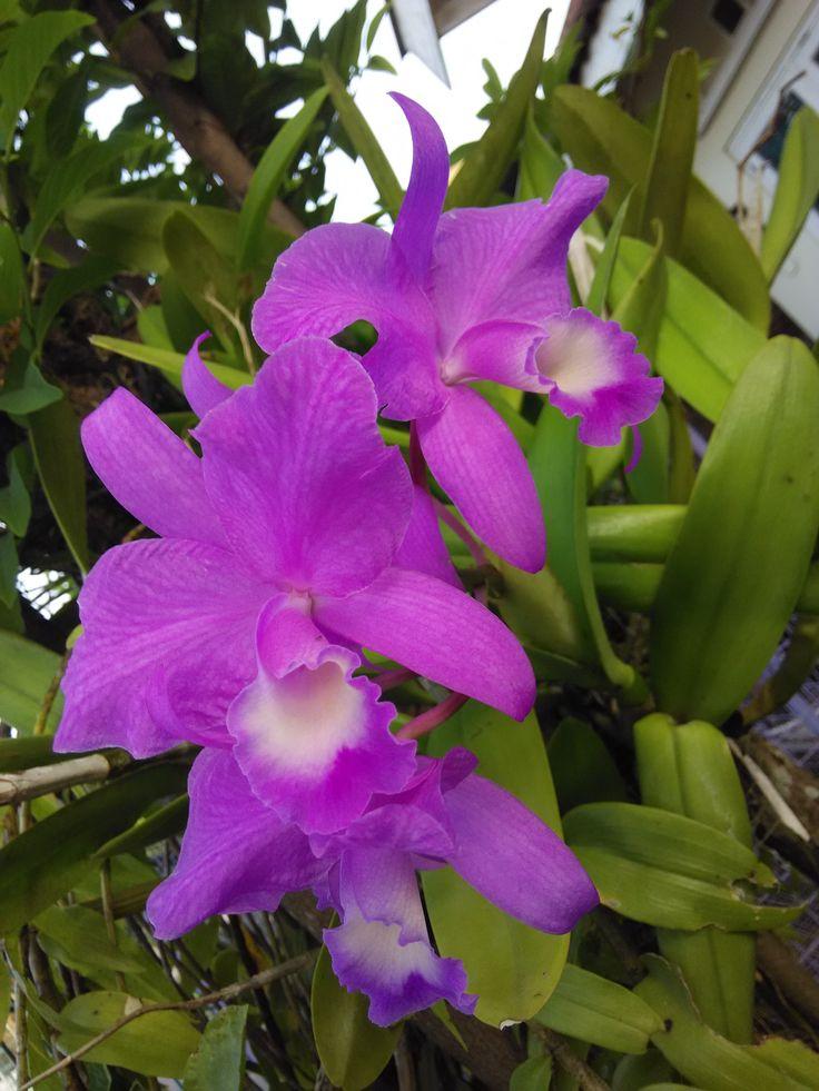 Purple Cattleya Orchid Lokasi : Plumbon, Sukoharjo