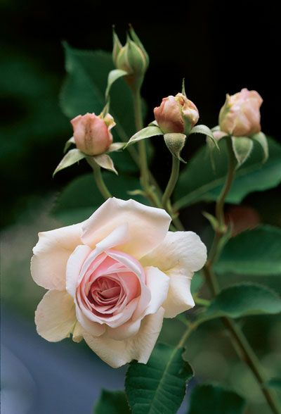 Add some pine bark in the planting mixture to grow healthy roses. Click through to read The Home Depot's other tips for rose planting success on the patio.