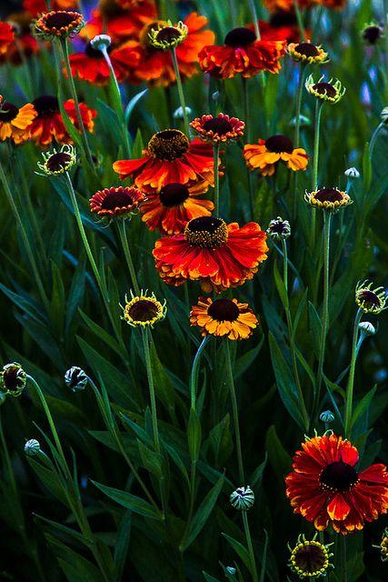 ~~A touch of summer... | helenium garden by gks18~~
