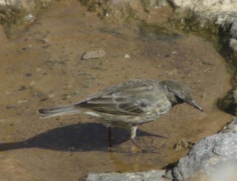 Rock Pipit: on the rocks | Nature Notes from Dorset