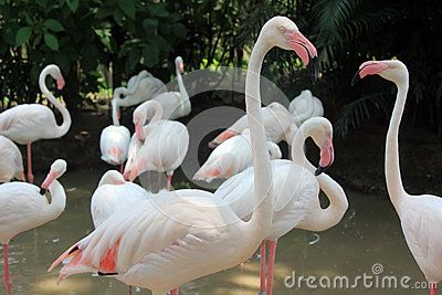 Ping flamingos in the park of Thailand