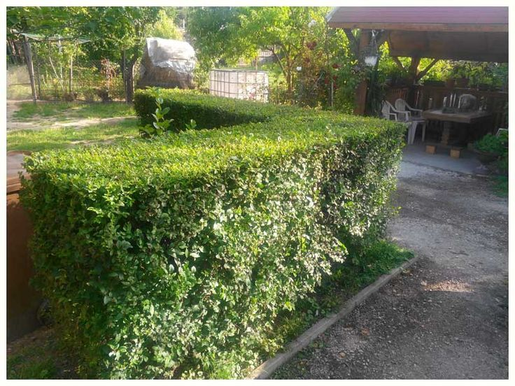 Hedge Fences Hedge Plant | Gardening | Native Hedges | Garden Hedge Nurseries | Hedges & Garden Hedging Plants Online