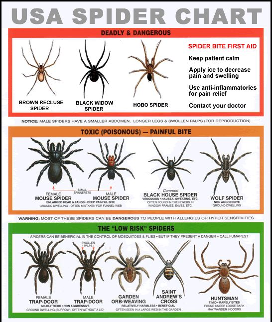 Spider Information , Brown Recluse , Hobo, And Black Widow