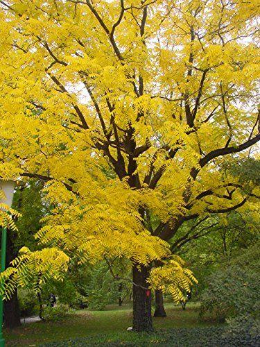 Black Walnut Tree Juglans nigra STUNNING AUTUMN COLOURS, ... https://www.amazon.co.uk/dp/B00WOW15K6/ref=cm_sw_r_pi_dp_x_46EhAbYVP0E8Y