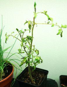 Övervintrad tomatplanta