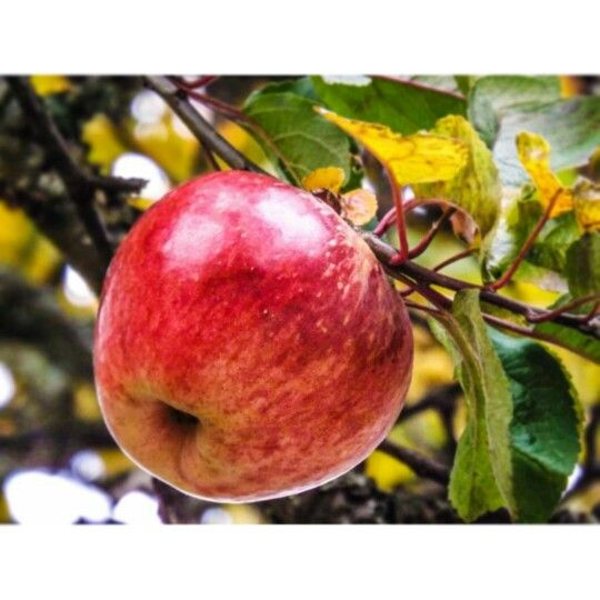 A pic of an Apple good enough to pick