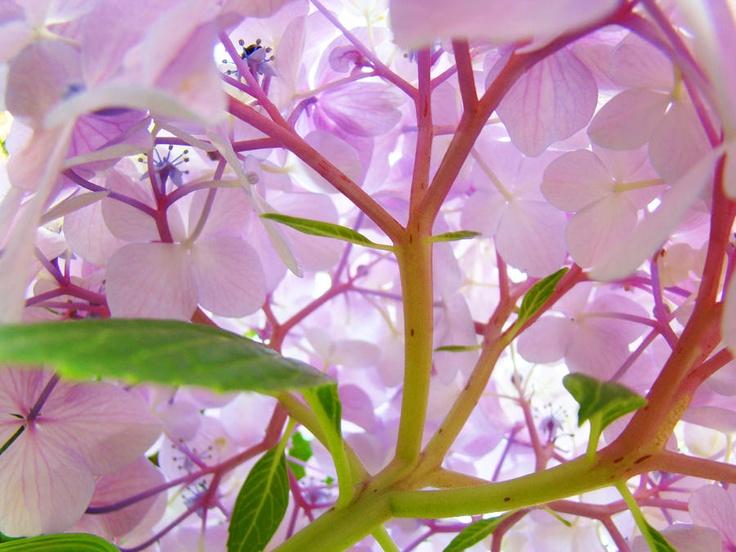 Hydrangea Art Giclee Baslee Troutman Fine Art Print: Healing Art, Flower Art, Art Prints, Fine Art, Art Squirts, Hydrangeas Art, Flowers Art