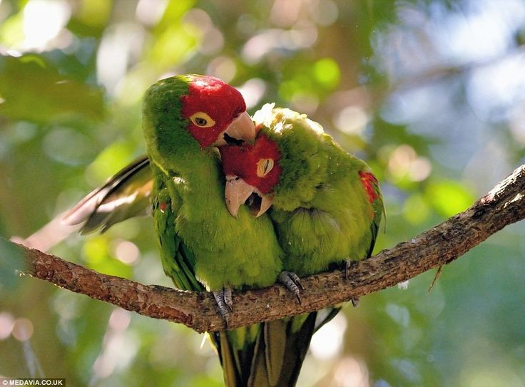 African lovebirds at Monkeyland and Birds of Eden sanctuary in South Africa