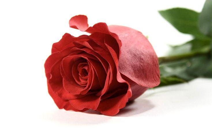 15 Gambar Bunga Mawar Merah Nan Unik & Cantik   FreshTure.com