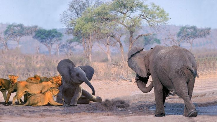 Mother Elephant Protect Her Baby From Pride Of Lion Hunting | Best Anima...