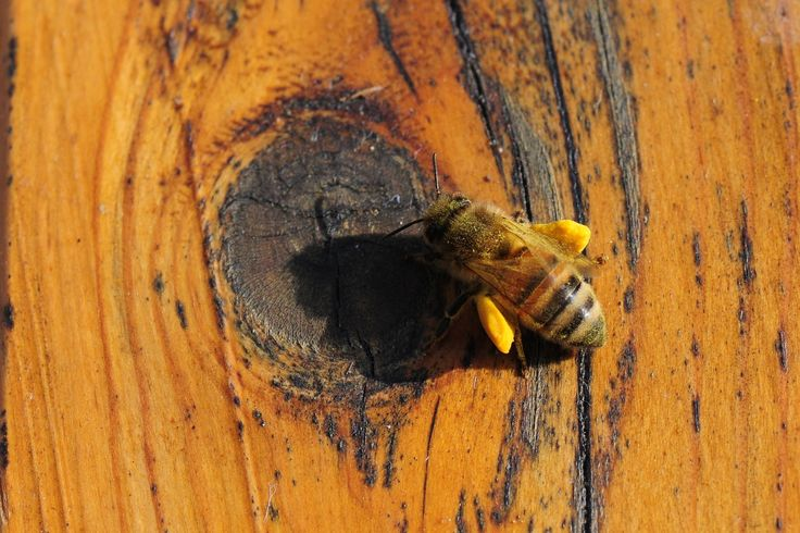 Alles zur Propolis Honig Wirkung und Anwendung. Wo sollte man Propolis Honig kaufen? Welche Alternativen gibt es? Manuka Honig - Jetzt informieren >>