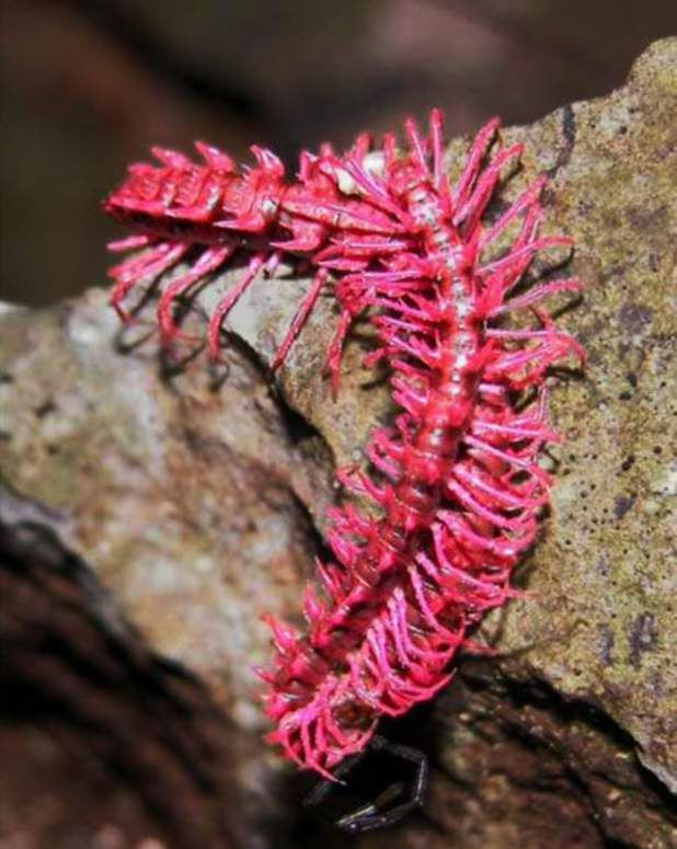 Le mille-pattes « dragon rose », Desmoxytes purpurosea - Spécialité…