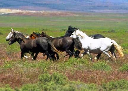 Cavalos selvagens são mantidos em cativeiro (Foto: Examiner)