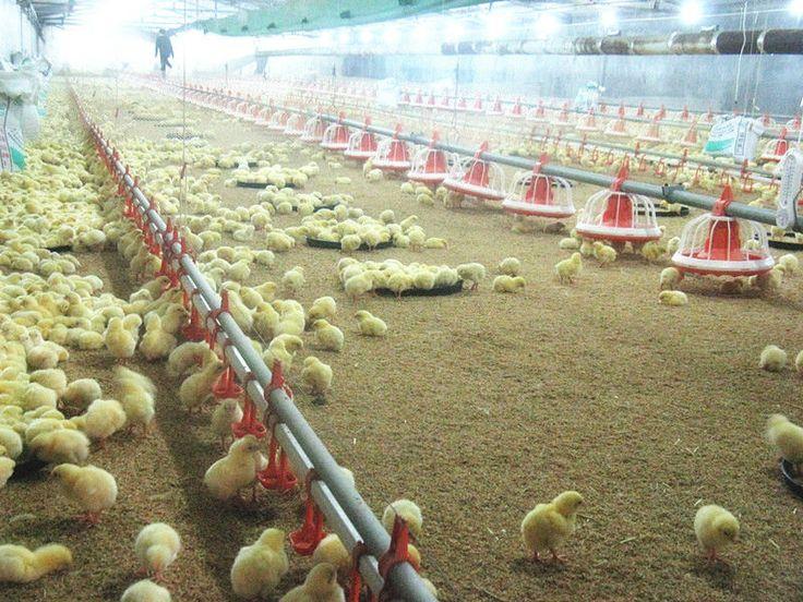 Automático del sistema de alimentación de pollos de engorde