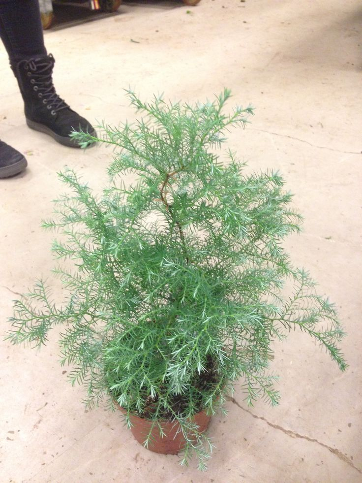 Krussypress - Chamaecyparis pisifera Squarrosa