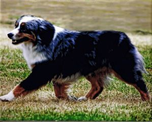 The Westminster Kennel Club | Breed Information: Miniature American Shepherd