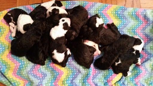 Sheepadoodle puppy for sale in TAMPA, FL  ADN-64514 on PuppyFinder