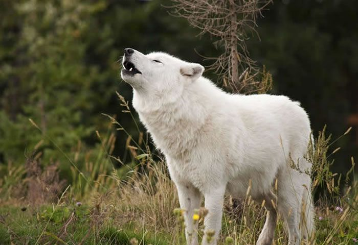 Enciclopedia animal | Animales de las regiones polares - Lobo ártico, polar o blanco