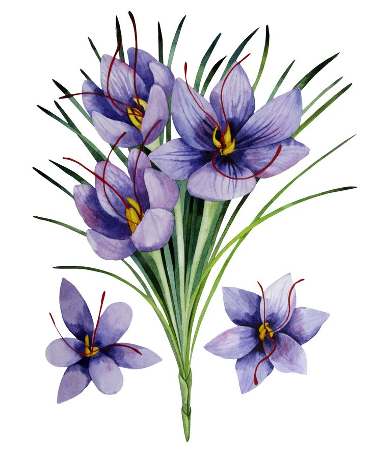 No other commodity or plant has maintained its name, its identity or its integrity so comprehensively as #saffron and the purple crocus that produce it. - #CrocusSativus #TasSaff